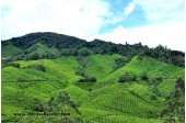 Tea Plantation - Sungai Palas